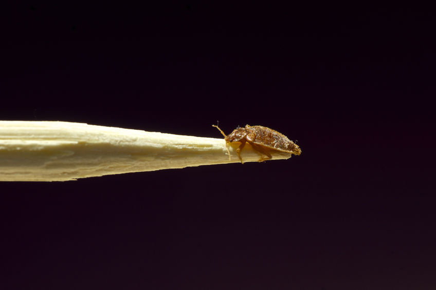 SBPD Bed Bug Image